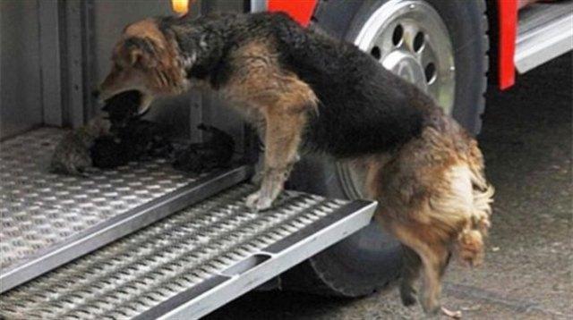 Собака спасла щенков из горящего здания и принесла их в машину пожарников