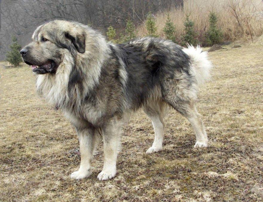 Фото взрослых собак и щенков кавказской овчарки