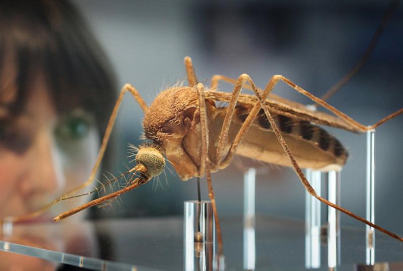 Գենետիկորեն ձևափոխված մոծակներ ...